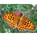 High Brown Fritillary Fabriciana adippe 50 spring larvae SPECIAL REDUCTION